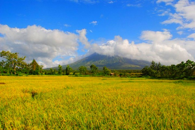 Mayon Volcano and Cagsawa Ruins - Paddy Fields