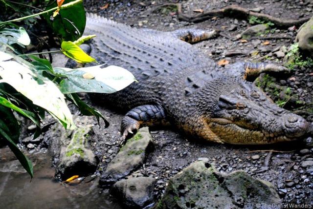 Crocodile or Alligator