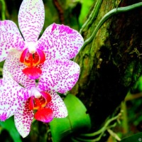 FotoFolio: Waling Waling, the Queen of Philippine Orchids (and Malagos garden Resort)